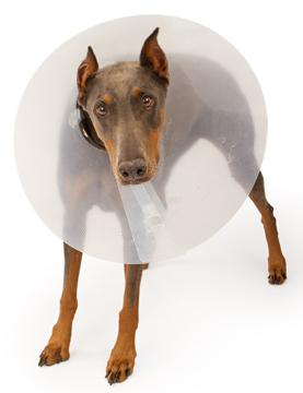 Doberman Pinscher Dog Wearing a Cone